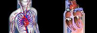 Infinite Progress Nutrition - Therapies - Circulatory System Disorders